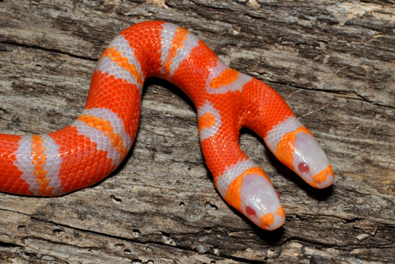 Two-headed snake hatched at professor's house | UWire
